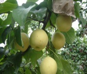 High Quality Delicious Sweet Golden Pear pictures & photos