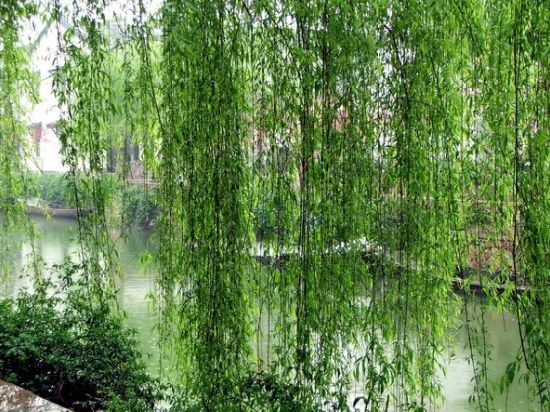 White Willow Bark Extract 10%-98%Salicin for Apis Anti-Inflammation