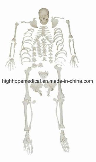 China Anatomical Model Bix-A1006 Life-Size Human Scattered Bones ...