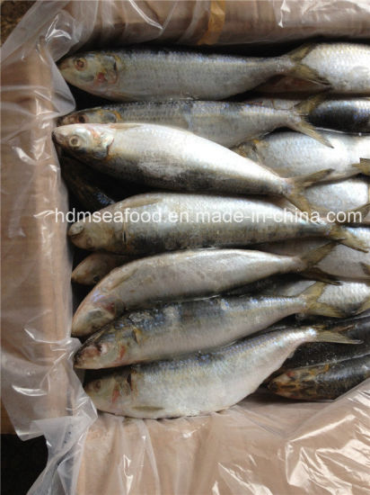 Whole Round Big Specification Frozen Sardine Fish for Market pictures & photos