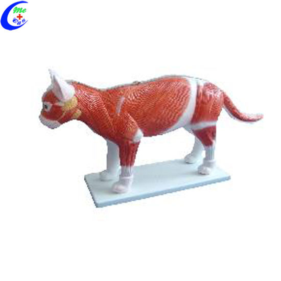 China Realistic Cat Animal Anatomy Model - China Realistic Cat ...