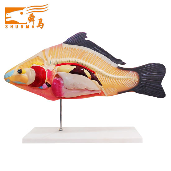 Fish Medical Anatomy Model (Teaching aids model)