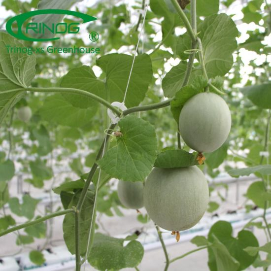 Urban farming high tech Cantaloupe greenhouse hydroponics system for farm