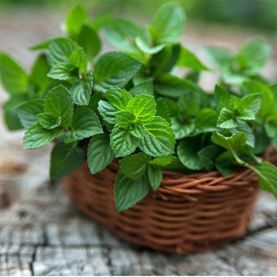 China Herbal Tea Organically Farmed Peppermint Leaves