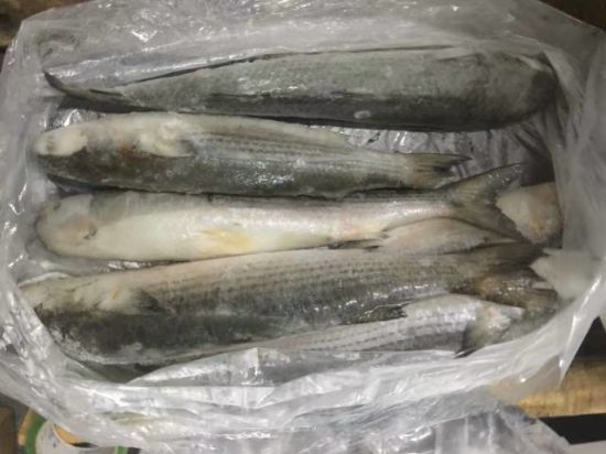 Frozen Grey Mullet Fish Whole Round pictures & photos