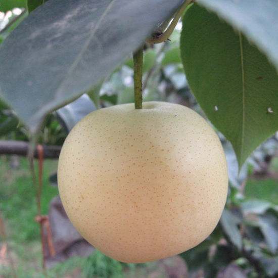 Fresh New Crop Pear with Good Quality pictures & photos