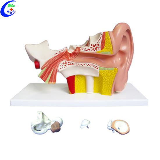 China Human Ear Anatomy Model China Ear Model Human Ear Model
