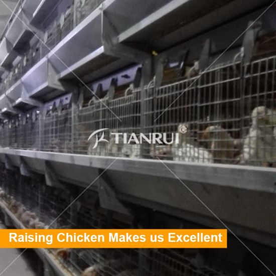 Automatic Chicken Equipment Cage System for Pullet with Manure Belt