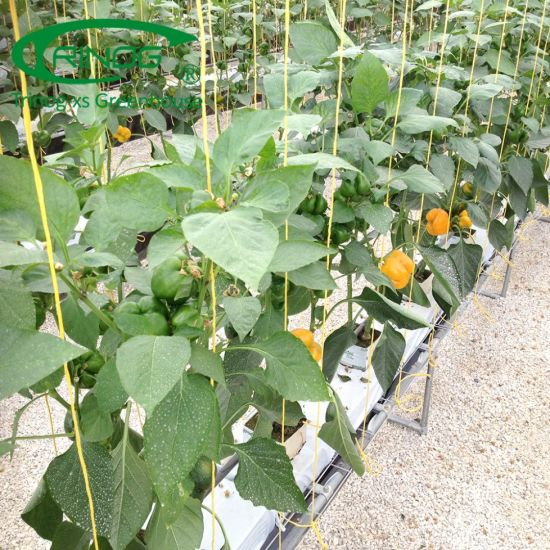 Rockwool substrate pepper hdyroponics system for farm growing