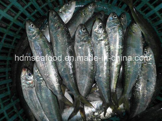 Frozen Sardine Fish