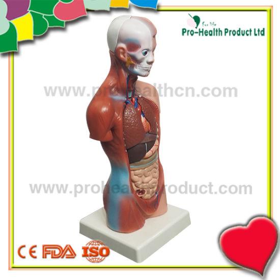Torso organe