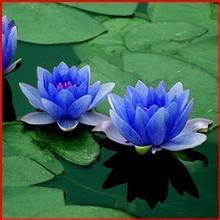 Chine 100% naturel extrait de fleur de lotus bleu 10 1