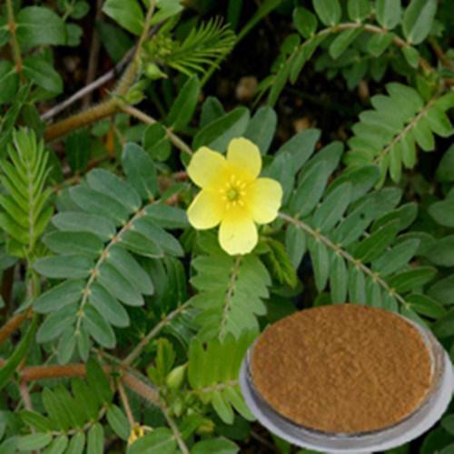 Chine Tribulus terrestris extrait de haute qualité (98 % de ...