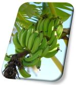 New Product---- organic fertilizer for banana