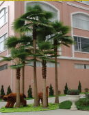 Fan Palm Tree Landscape Project