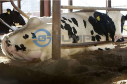 Cow-On-Sand-Bedding-Management