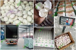 2019 New Crop Garlic has Coming