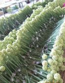 best selling Onion Grass ball flower