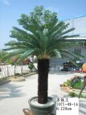 Big King Cycas