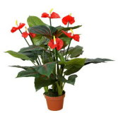 best selling Anthurium