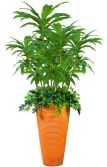 best selling Dracaena mixed Group