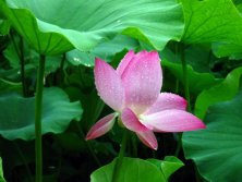 In July, Lotus Bloom Time!