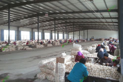 Garlic Producting
