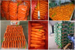 New Crop Carrot is usder processing
