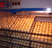 Incubation machine for poultry eggs