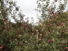 The Orchard Of Apple