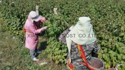 checkingt the harvest of raspberries in the fields