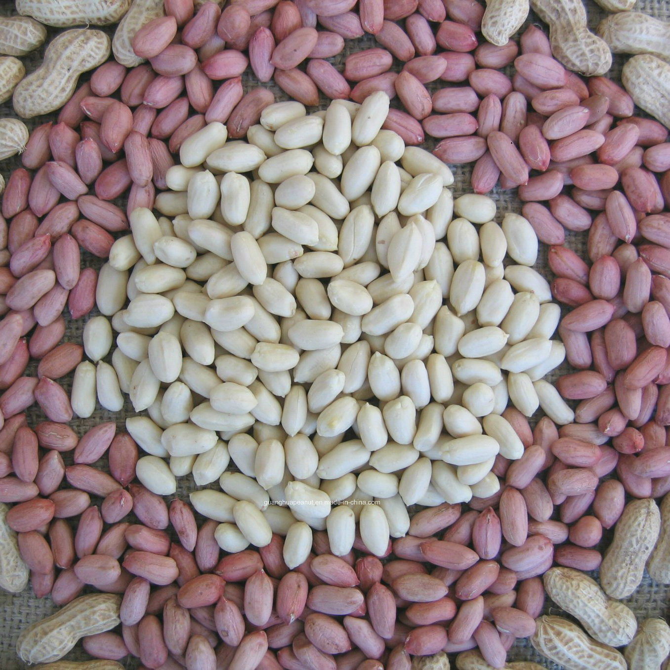 New Crop Peanut in Shell Long Type/Round Type From China pictures & photos