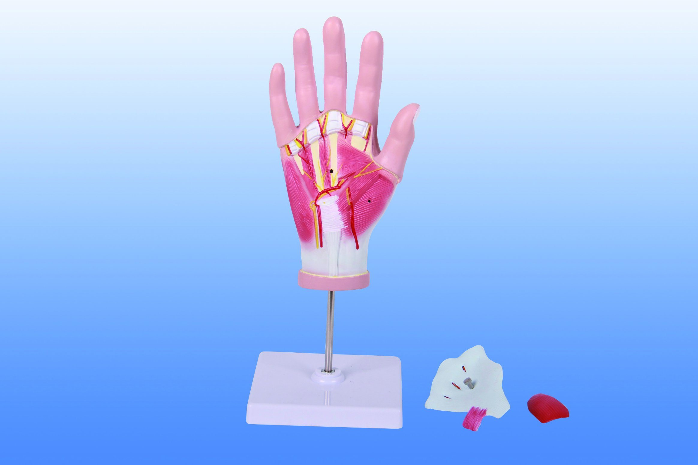 China Regional Anatomy Of Hand 4 Parts Anatomical Model