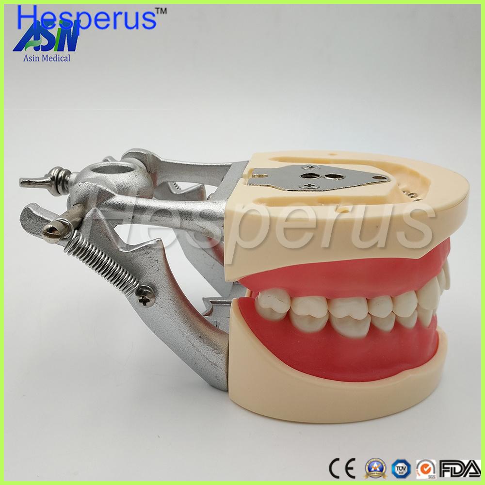 China Dental Teeth Teaching Model Soft Gingiva 200h Type