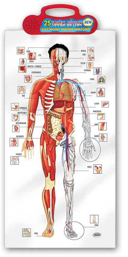 China Human Body Chart in Arabic (QC781A) - China Learning Chart, Arabic