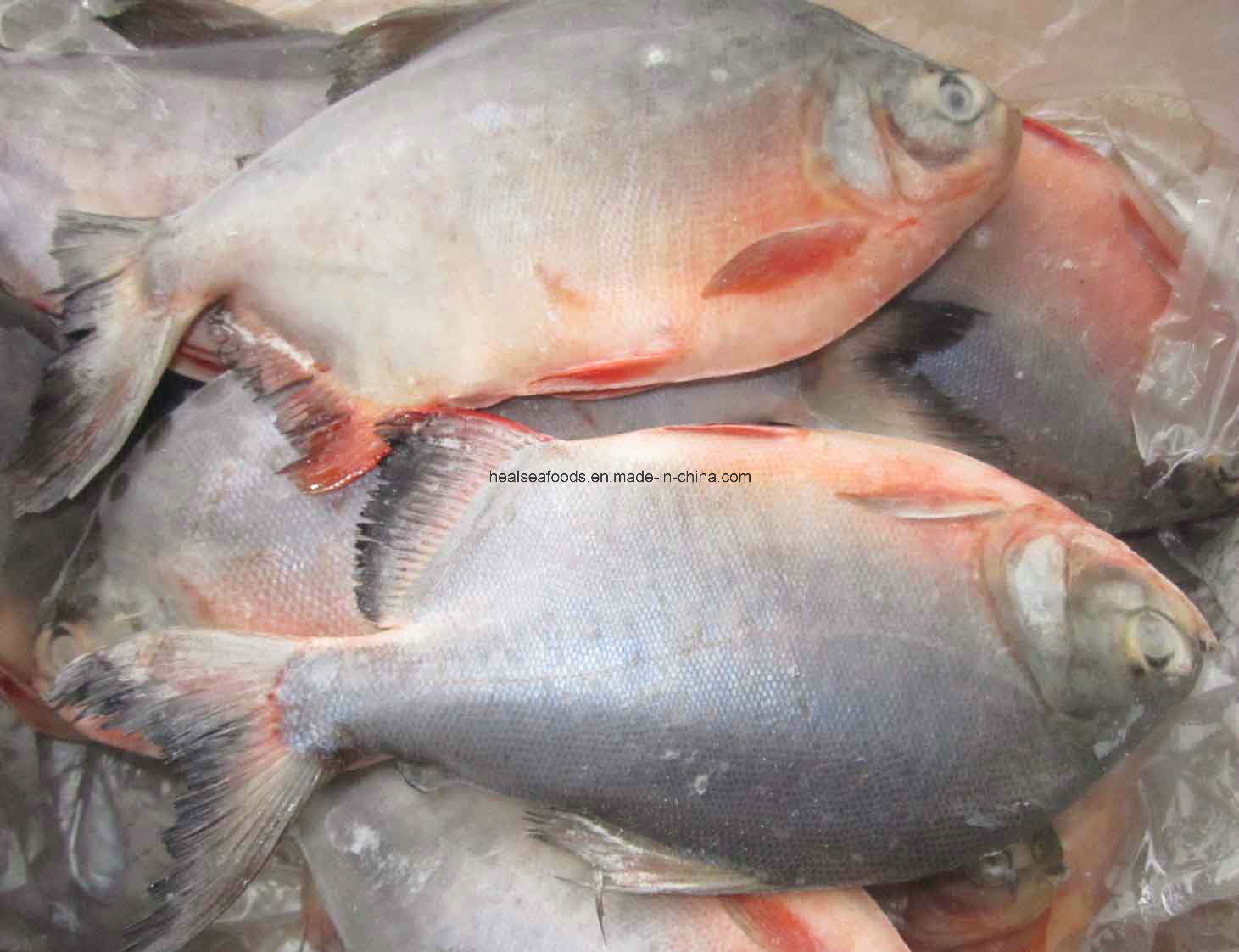 Frozen Red Pomfretred Pacu 500 1000g China Red Pomfret Red Pacu