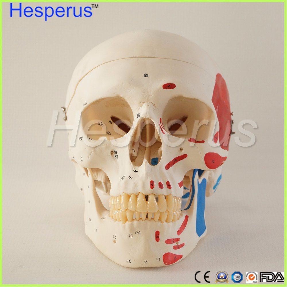 China Life Size Human Anatomy Skull Brain Skeleton Anatomical Dental ...
