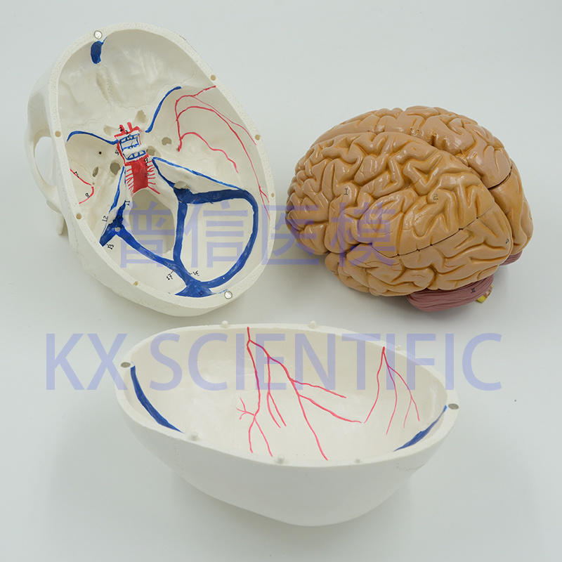 China Human Skull with Vessel Painted Brain Model 8 Parts Anatomy ...