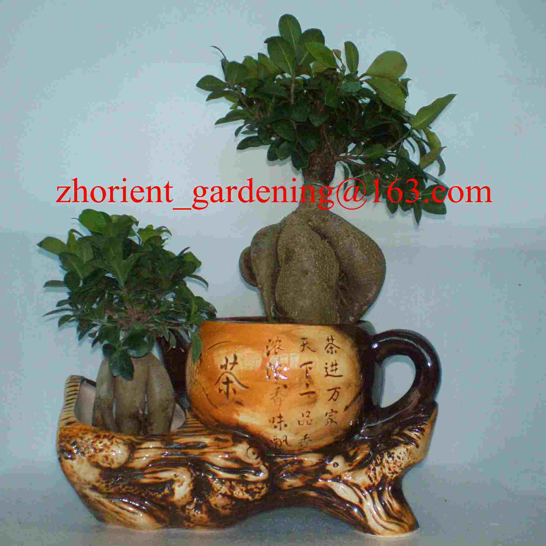 China Ficus Ginseng Microcarpa Mini Potted Bonsai Tree Taiwan Ficus
