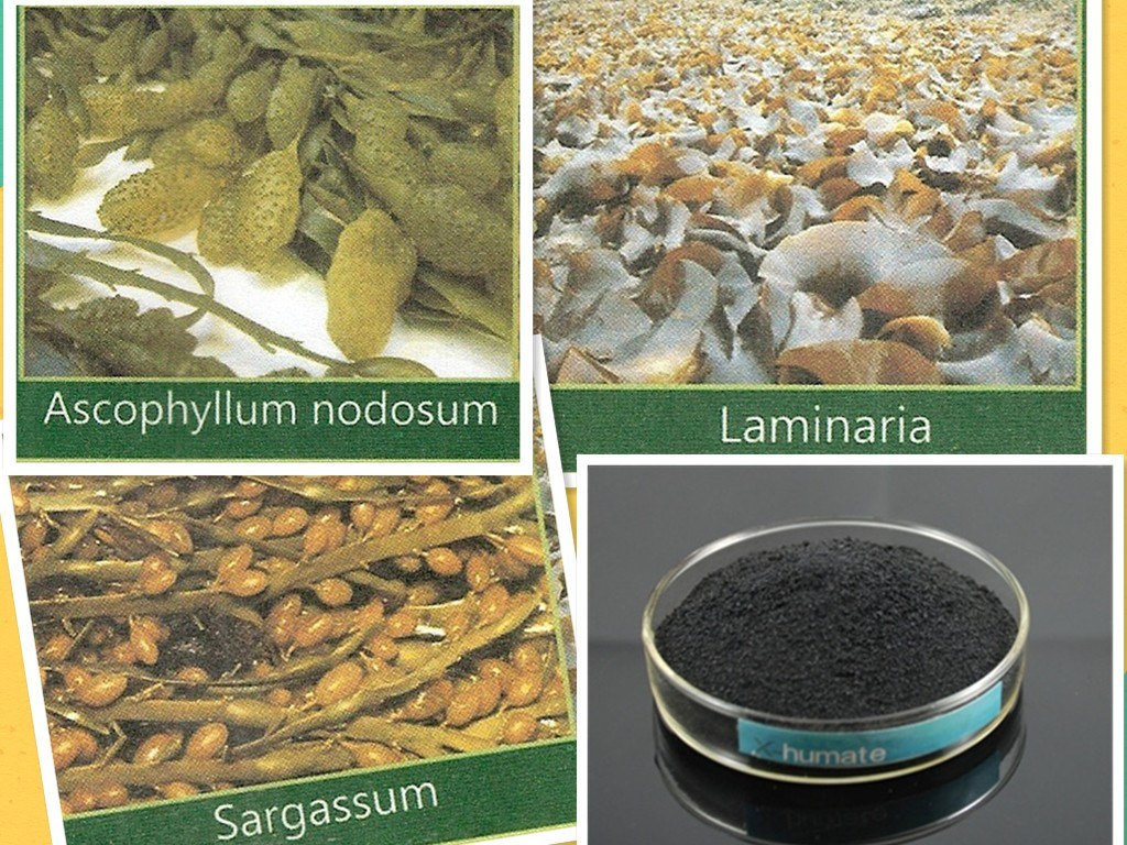 Seaweed Extract with 99.5% Min Solubility