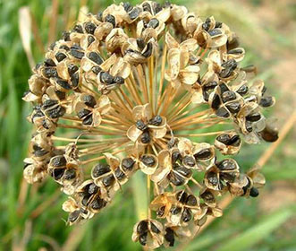 Leek Seed P. E/Chinese Chive Seed P. E/Garlic Chives Extract pictures & photos