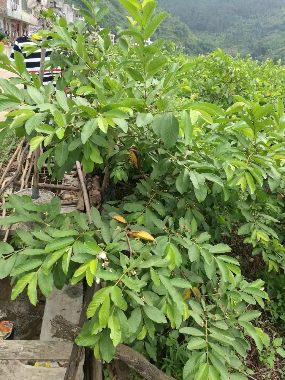 [Hot Item] Unigrow Soil Conditioenr for Guava Planting