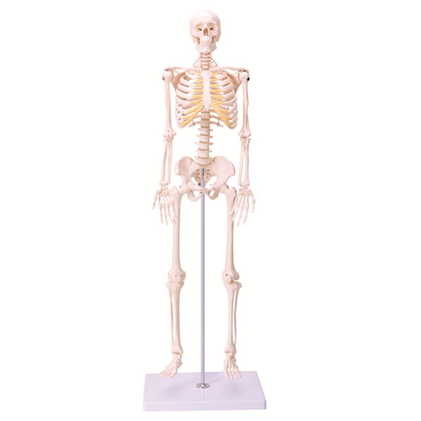 China 85cm Skeleton Model Artificial Skeleton Skeleton Anatomy