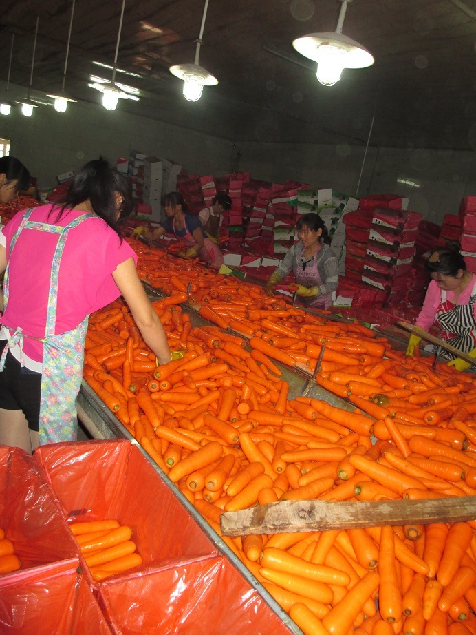 2016 Crop Fresh Shandong Carrot