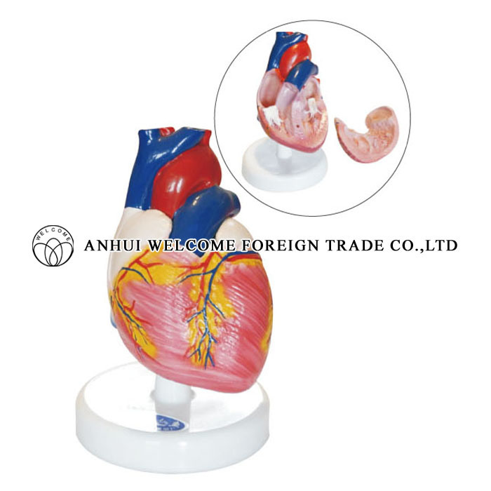 China Anatomy Model Of Heart Dissection For Medical Teaching China
