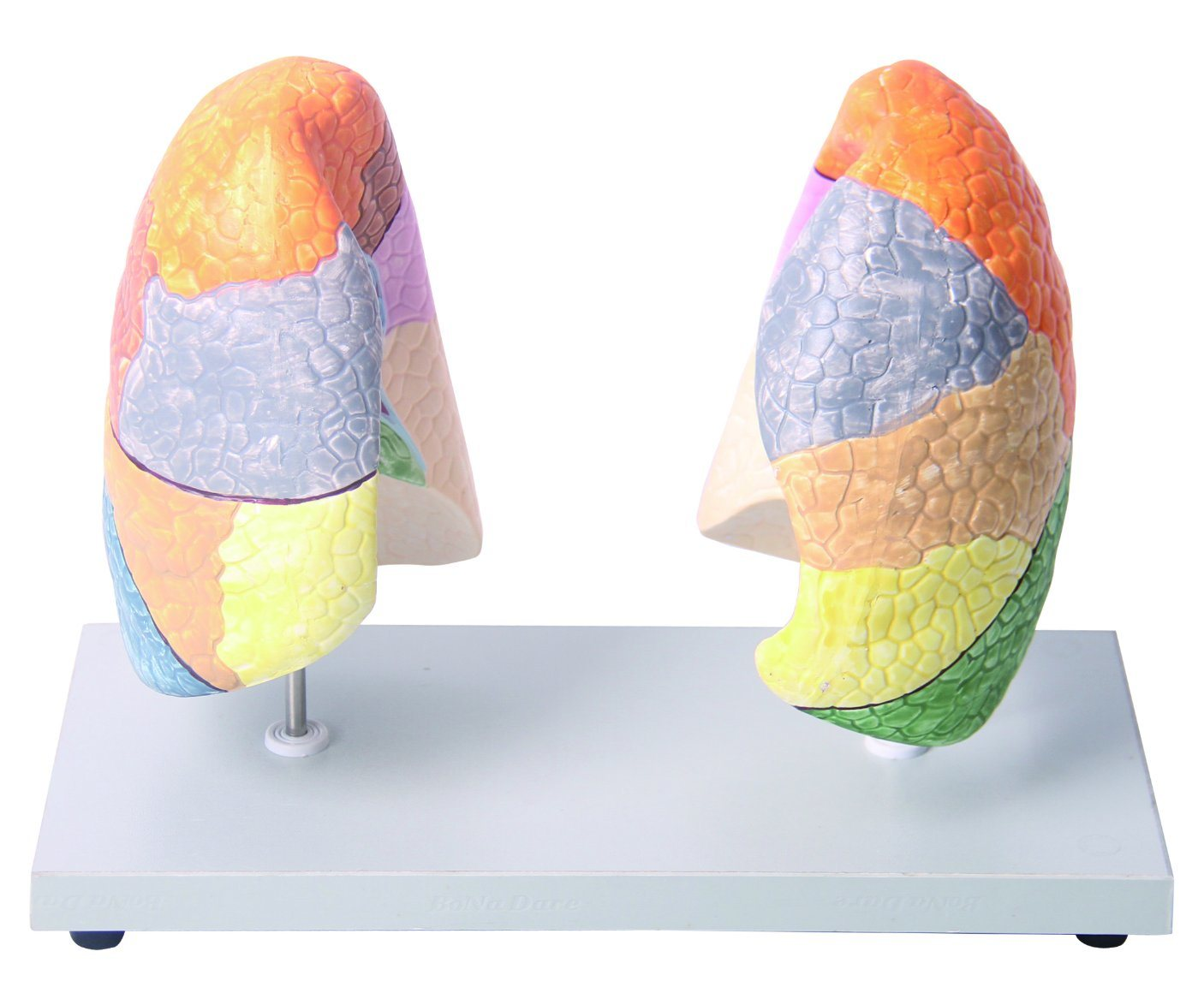 China Life Size Segmental Anatomy Human Lung Model for Education ...