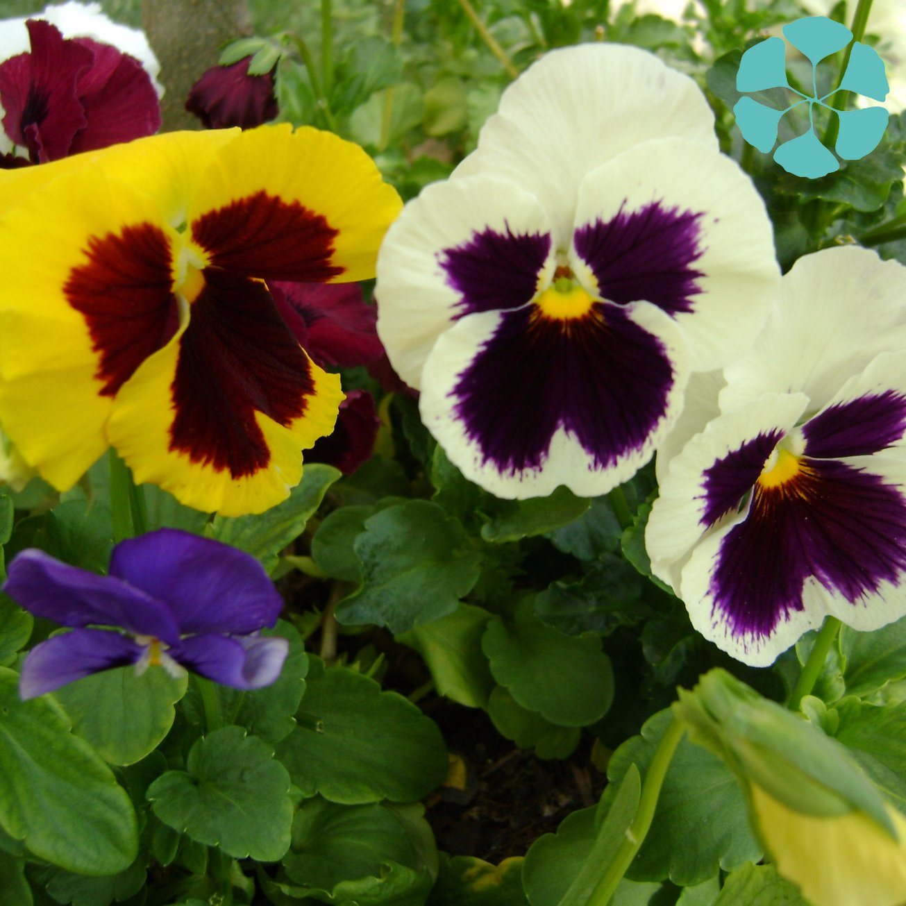 Pansy Extract / Viola Tricolor Extract pictures & photos