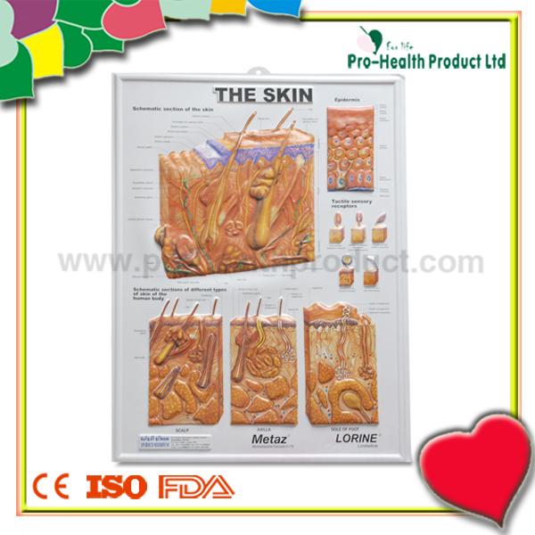 China The Skin Anatomy 3d Wall Poster For Teaching China Anatomy