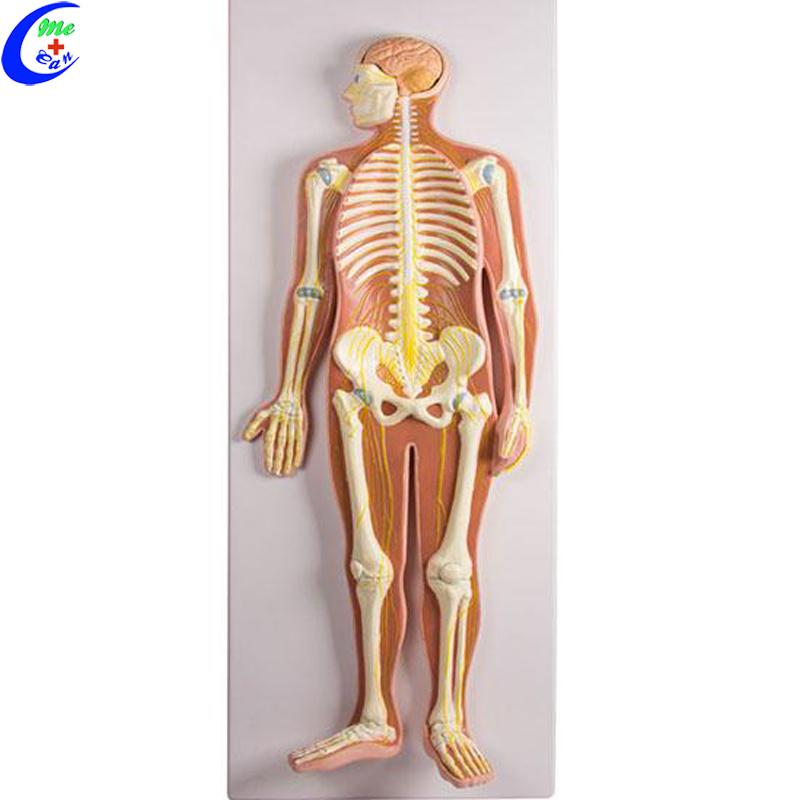 China Human Anatomy Nervous System Model China Neuron Model