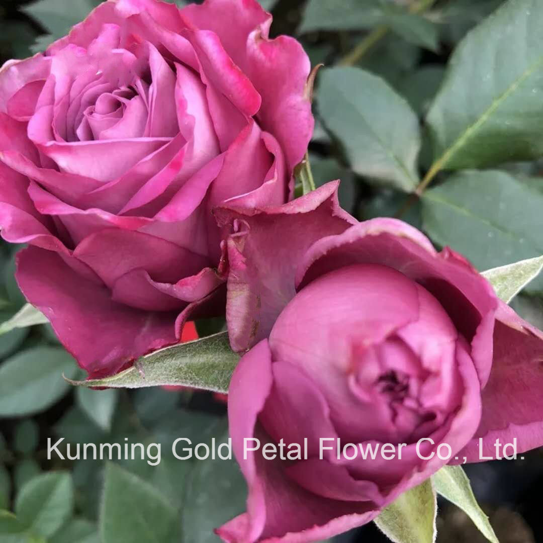 China Beautiful And Popular Fresh Cut Flowers Rose Cold Beauty Rose